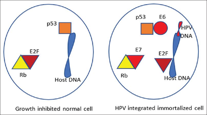 Figure 1: Viral DNA integration and immortalization of host cell
